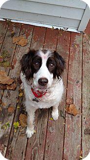 English Springer Spaniel Mix Dog for adoption in Grand Rapids, Michigan - Hemingway