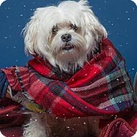 Adopt A Pet :: GOLDA - Methuen, MA
