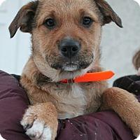 Adopt A Pet :: Gingersnap - Mt. Prospect, IL