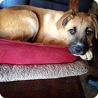 Adopt A Pet :: Miller-PENDING - Montpelier, VT