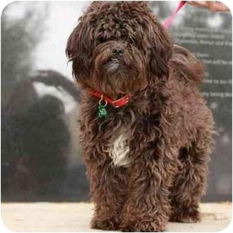 Shih Tzu/Poodle (Miniature) Mix Puppy for adoption in Denver, Colorado - Schnoodle
