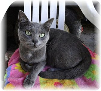 Domestic Shorthair Cat for adoption in Shelton, Washington - Mona