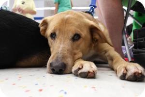 Labrador Retriever/Shepherd (Unknown Type) Mix Dog for adoption in Alpharetta, Georgia - Carla