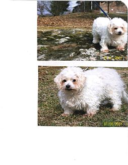 Maltese/Poodle (Toy or Tea Cup) Mix Dog for adoption in Sherman, Connecticut - Maxwell