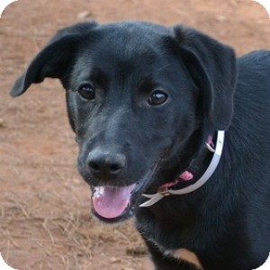 Labrador Retriever/Border Collie Mix Dog for adoption in Athens, Georgia - Valentine