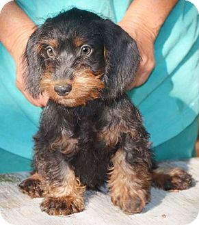 ... Adopted Puppy | KN | Staunton, VA | Dachshund/Poodle (Miniature) Mix