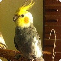 Adopt A Pet :: Innocence - Shawnee Mission, KS