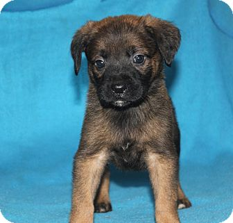 Boxer/German Shepherd Dog Mix Puppy for adoption in Colonial Heights, Virginia - Chandler
