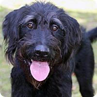 Adopt A Pet :: Siggy - Walnut Creek, CA
