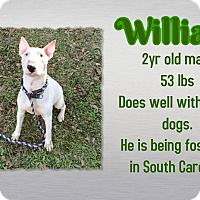 Adopt A Pet :: William - Columbia, SC