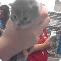 Domestic Mediumhair Kitten for adoption in Scottsdale, Arizona - MILEY