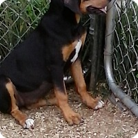 Adopt A Pet :: Lea - Staunton, VA