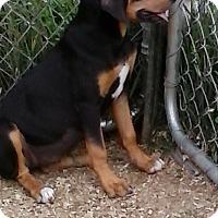 Labrador Retriever/Black and Tan Coonhound Mix Puppy for adoption in Staunton, Virginia - Lea
