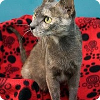 Domestic Shorthair Cat for adoption in New Orleans, Louisiana - Lyanna