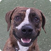 Adopt A Pet :: *MAJOR - Las Vegas, NV
