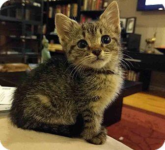 Domestic Shorthair Kitten for adoption in Gaithersburg, Maryland - Yesenia Kitten