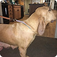 Bloodhound Dog for adoption in Fayetteville, Arkansas - Sadie
