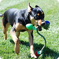 Rottweiler Mix Puppy for adoption in Greensboro, Maryland - Roxie