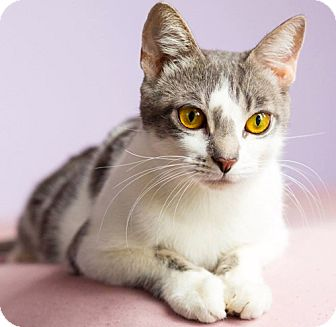 Domestic Shorthair Cat for adoption in Brooklyn, New York - Georgette the Gorgeous Golden-Eyed Girl