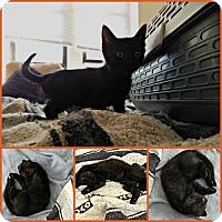 Adopt A Pet :: Inky - Philadelphia, PA