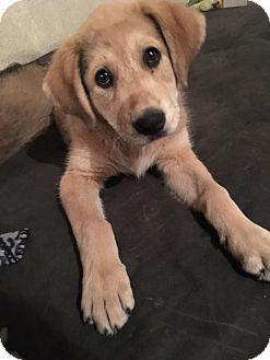 Great Pyrenees Mix Puppy for adoption in chicago, Illinois - Emmie-Lou