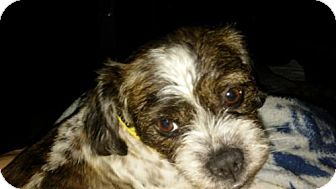 Shih Tzu Mix Dog for adoption in Akron, Ohio - Sophie Grace