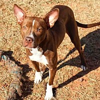 Australian Kelpie Mix Dog for adoption in Edmond, Oklahoma - PEPPERMINT