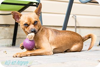 Terrier (Unknown Type, Small)/Miniature Pinscher Mix Dog for adoption in San Francisco, California - Jax