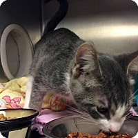 Domestic Shorthair Kitten for adoption in Janesville, Wisconsin - Magic Man