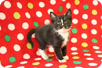 Domestic Shorthair Kitten for adoption in Yucaipa, California - Pilgrim