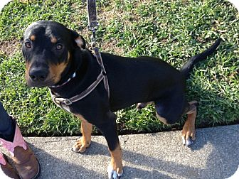 Rottweiler border collie mix dog for adoption in tracy california