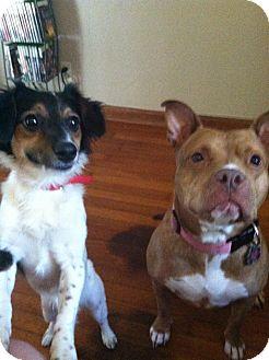 Spaniel (Unknown Type)/Papillon Mix Dog for adoption in Youngstown, Ohio - Sammy ~ Adoption Pending