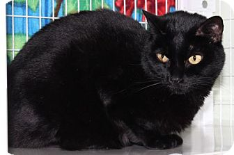 Domestic Shorthair Cat for adoption in Venice, Florida - Lila