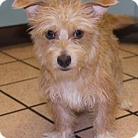 Adopt A Pet :: Bon Bon - Las Vegas, NV