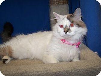 Ragdoll Cat for adoption in Colorado Springs, Colorado - Glo