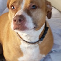 American Staffordshire Terrier Mix Dog for adoption in Gustine, California - AUDREY