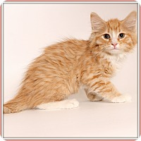 Domestic Mediumhair Cat for adoption in Glendale, Arizona - Ferdinand