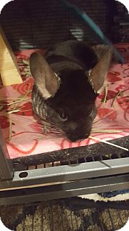 Chinchilla for adoption in Patchogue, New York - Rocky