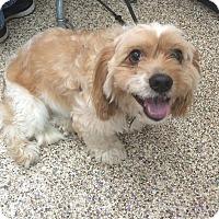 Adopt A Pet :: Benny - Thousand Oaks, CA