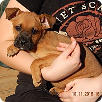 German Shepherd Dog/English Bulldog Mix Puppy for adoption in Niagara Falls, New York - Whirlwind (6 lb) Video!