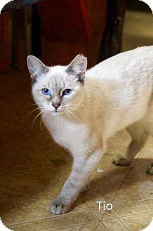 Siamese Kitten for adoption in Pinckney, Michigan - Tio