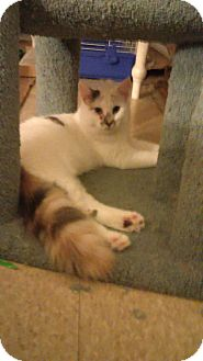 Domestic Longhair Kitten for adoption in Glen cove, New York - Penelope