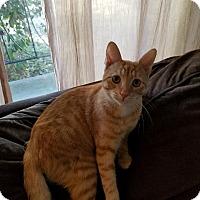 Domestic Shorthair Cat for adoption in El Cajon, California - Teddy