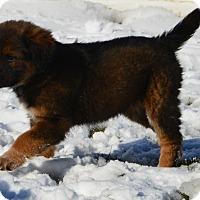 German Shepherd Dog/Australian Shepherd Mix Puppy for adoption in Brandon, South Dakota - Lola