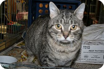 American Shorthair Cat for adoption in Hagerstown, Maryland - Beatrice