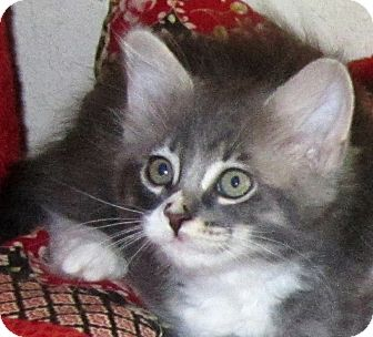 Domestic Longhair Kitten for adoption in Seminole, Florida - Jonah