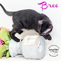 Adopt A Pet :: Bree - Los Angeles, CA