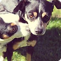 Adopt A Pet :: Robin - Surrey, BC