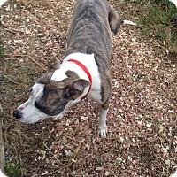 Adopt A Pet :: Rambo - New Philadelphia, OH