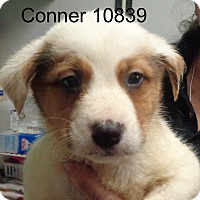 Adopt A Pet :: Conner - baltimore, MD